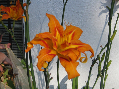 Orange Striped Day Lily