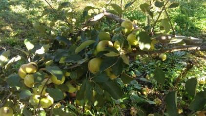 Lots'sa Apples