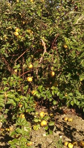 Whole Lotta' Apples