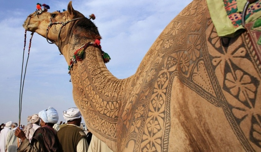 the indian city of bikaner host an annual camel festival in january. the designs are the results of trimming and dying the camel hair. photos steve hoge and osakabe yasuo (3)