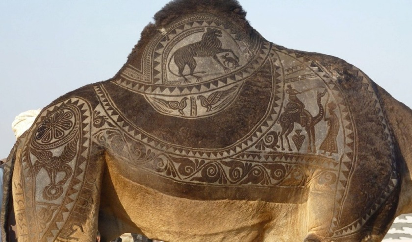 the indian city of bikaner host an annual camel festival in january. the designs are the results of trimming and dying the camel hair. photos steve hoge and osakabe yasuo (5)